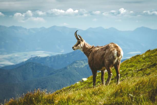 Tatra chamois on the hill stock photo