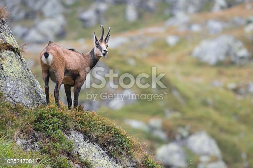 Tatra chamois photographed in the Tatra National Park in Poland.