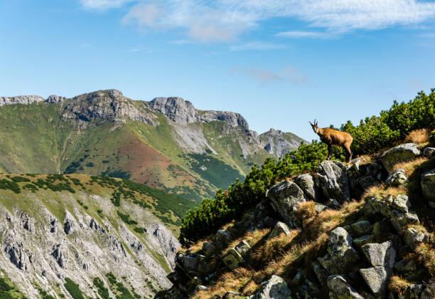 Tatra chamois (Rupicapra rupicapra tatrica) arka planda bir sırt, Polonya ve Slovak Tatra Dağları'nın bir sembolü ile bir uçurumun üzerinde duran. stok fotoğrafı