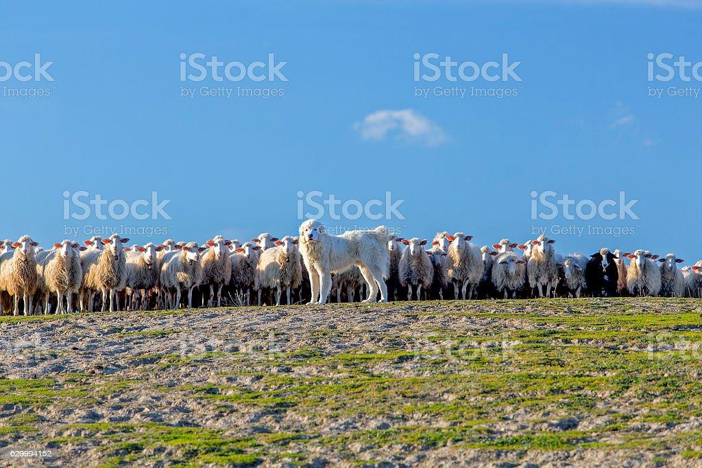 Tatra Shepherd dog - Sheepdog and flock of sheep stock photo
