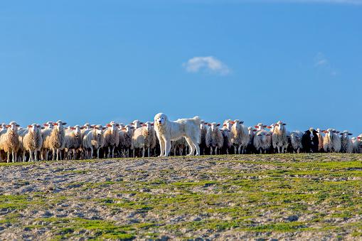 Tatra Shepherd Dog Sheepdog And Flock Of Sheep Stock Photo - Download Image Now