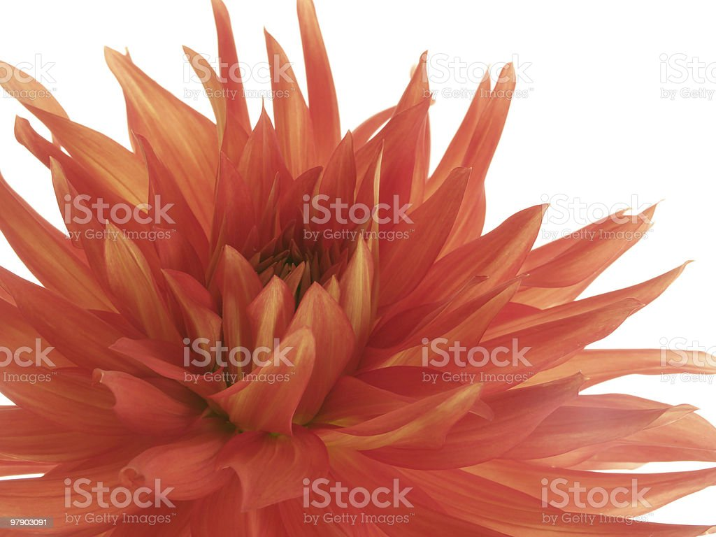 Tattered red dahlia on white royalty-free stock photo