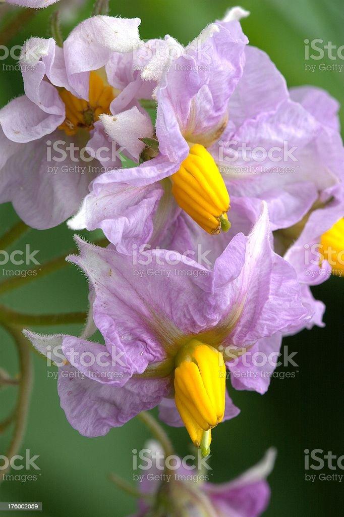 Tattie flowers royalty-free stock photo