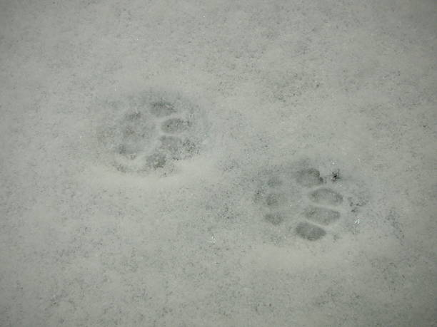 Tatzen Im Schnee – Foto
