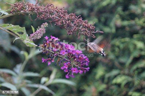 Macroglossum stellatarum im Flug wie ein Kolibri