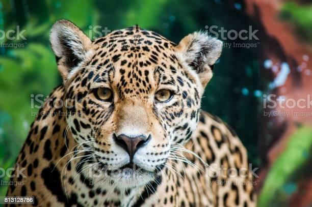 Taunting the jaguar picture id813128786?b=1&k=6&m=813128786&s=612x612&h=qf18pc56t8fnmcuuahiajflqwuw1xdw0rracmt4puwu=