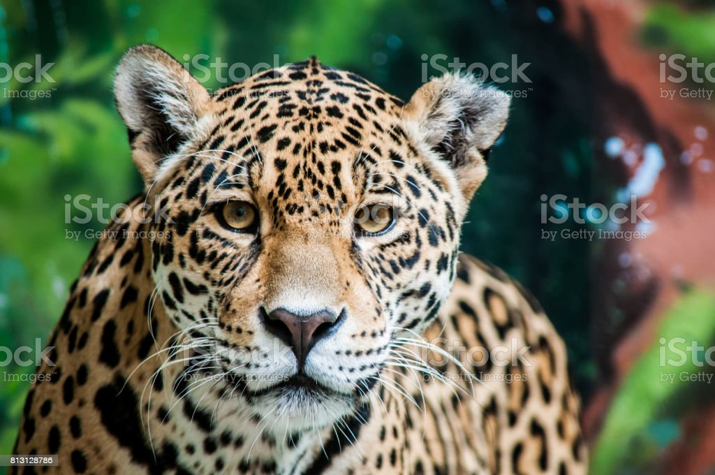 Taunting the jaguar stock photo