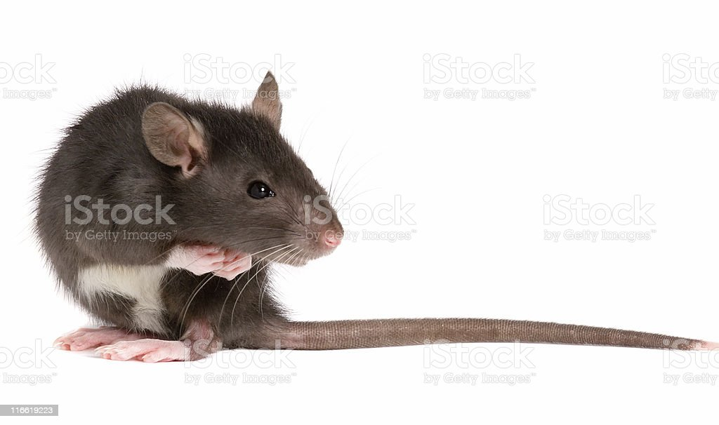 Taupe rat sitting and looking at tail stock photo