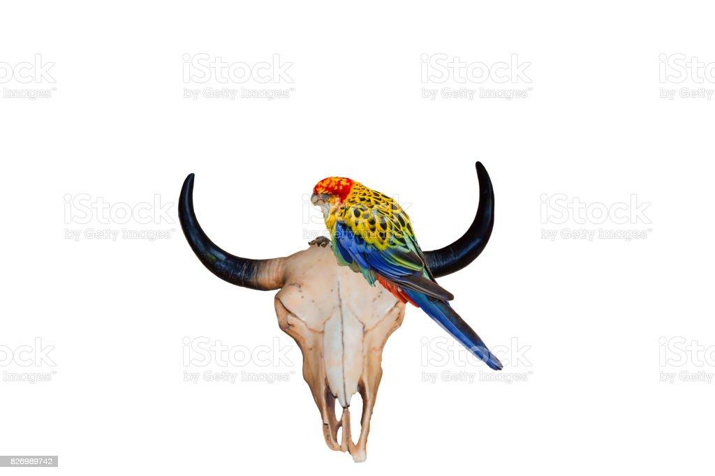 Taurus skull with colorful parakeet stock photo