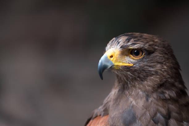 Tawny Adler (Aquila Rapax), ein großer Raubvogel, die in Afrika südlich der Sahara, Südwesten Asien und Indien – Foto