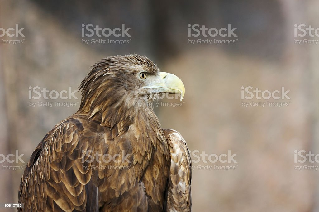 Tawny Eagle (Aquila rapax) royalty-free stock photo