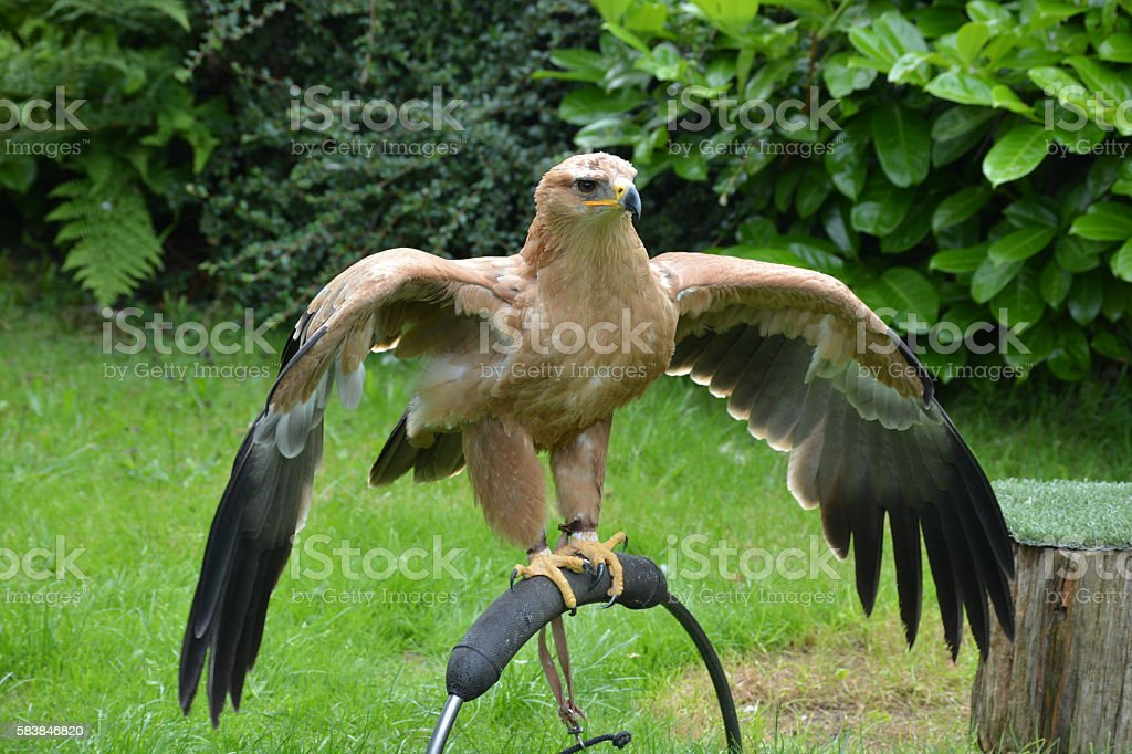 Tawny eagle preparing for flight stock photo