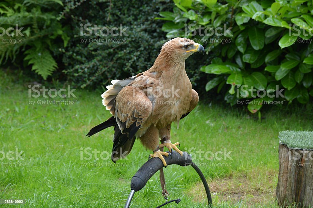 Tawny eagle standing on a stick stock photo