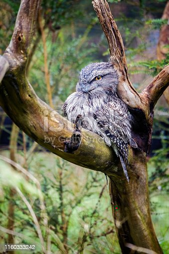 Male Tawny Frogmouth owl perched in a tree branch