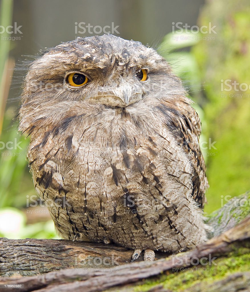 Tawny Frogmouth (Podargus strigoides) stock photo