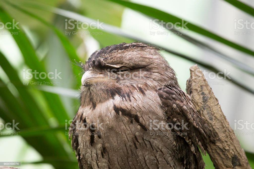 Tawny Frogmouth (Podargus strigoides) stock photo