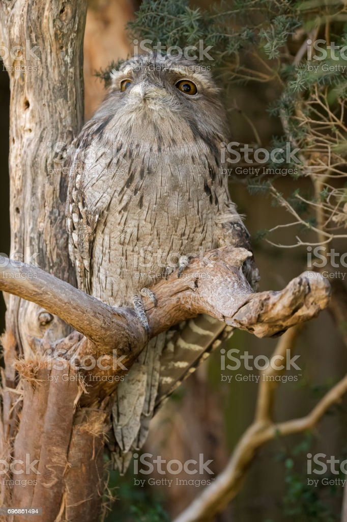 Tawny frogmouth with tufts perching on tree branch, native stocky bird in Australia, Tasmania stock photo