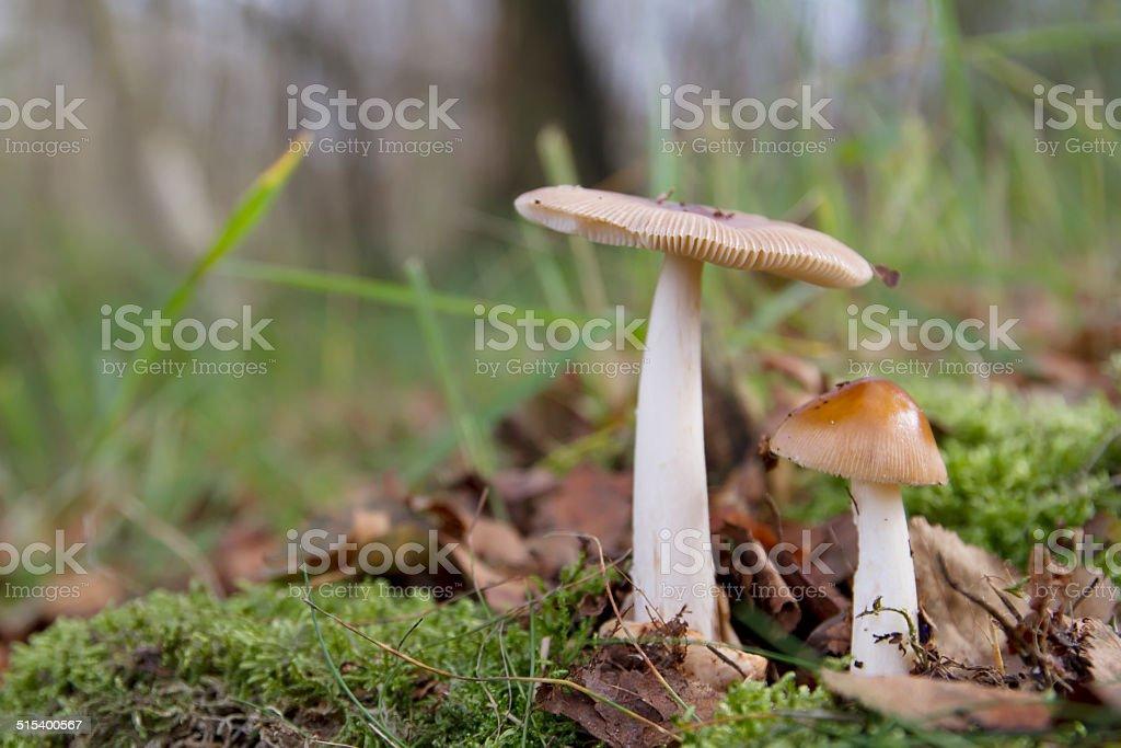 Tawny Grisette Mushroom (Amanita fulva) stock photo
