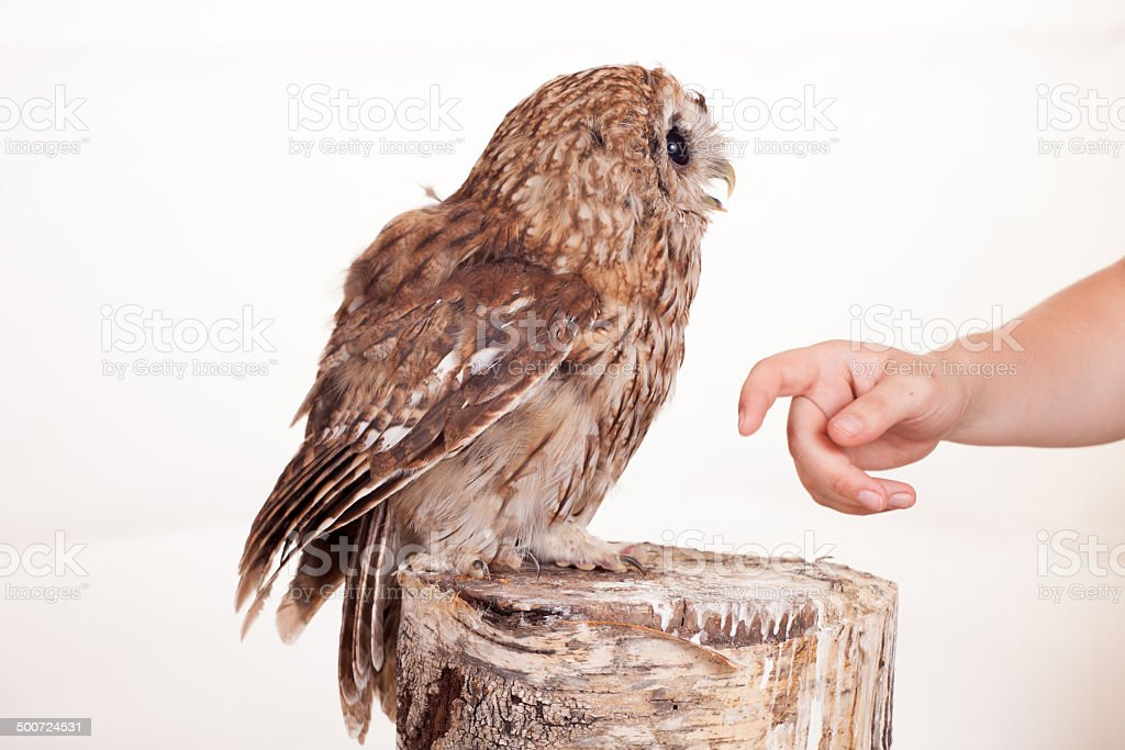 Tawny or Brown Owl isolated on white royalty-free stock photo
