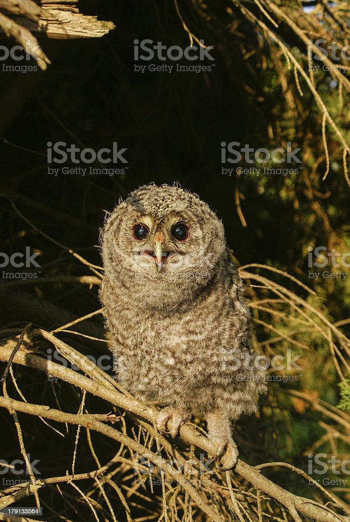 Tawny Owl Chick royalty-free stock photo