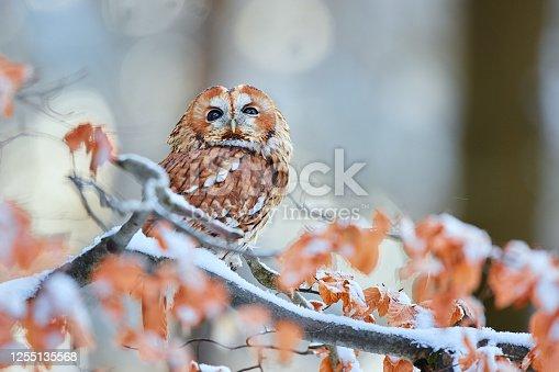 Tawny Owl (Strix aluco) during winter in forest. Bird of prey sitting on a snowy oak tree. Wildlife scene from Germany.