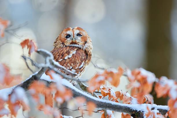 Tawny Owl (Strix aluco) during winter in forest. Bird of prey sitting on a snowy oak tree. Wildlife scene from Germany. stock photo