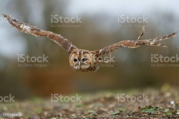 Tawny owl flying toward camera picture id177228331?b=1&k=6&m=177228331&s=612x612&h=5w4d8pnkvuvgdwfpedonv3iboylzjadnm166n6rx0po=