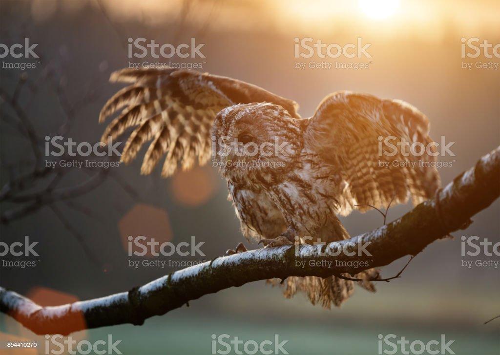 Tawny Owl is sitting on birch branch stock photo
