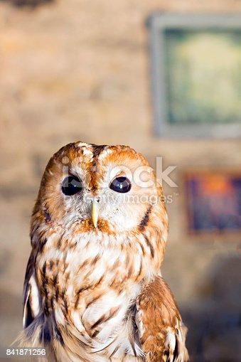 Tawny owl or brown owl. Portrait Strix aluco owl