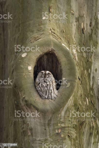 Tawny owl picture id1001738484?b=1&k=6&m=1001738484&s=612x612&h=oy9y0ktgbjvw6sd4ho5culsp1eqff fbvo8dem5hfnw=