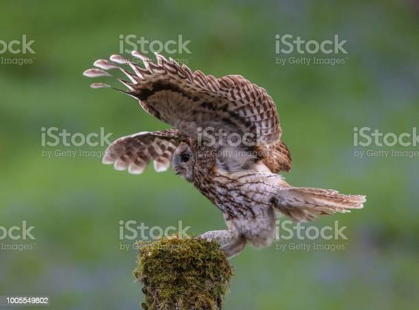 Tawny owl picture id1005549802?b=1&k=6&m=1005549802&s=612x612&h=d9yubtrte kkvzkvieeayuzscuw4ctazl6utwe70vgo=