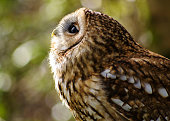 Tawny Owl (Strix Aluco) looking up behind Bokeh forests in Cornwall, UK