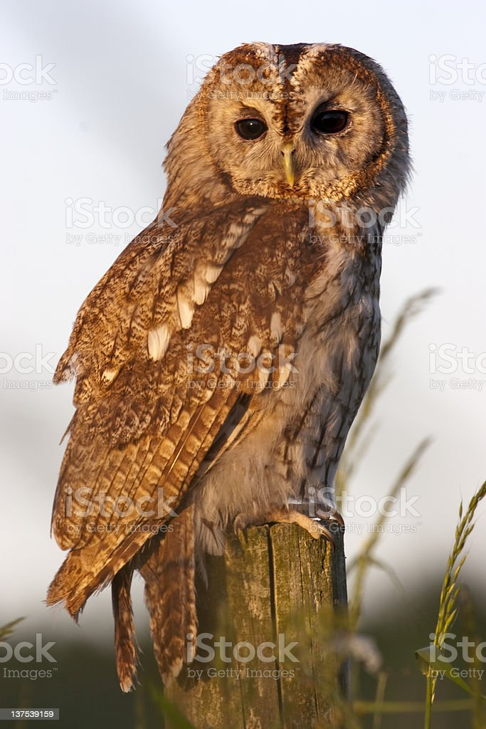Tawny Owl royalty-free stock photo