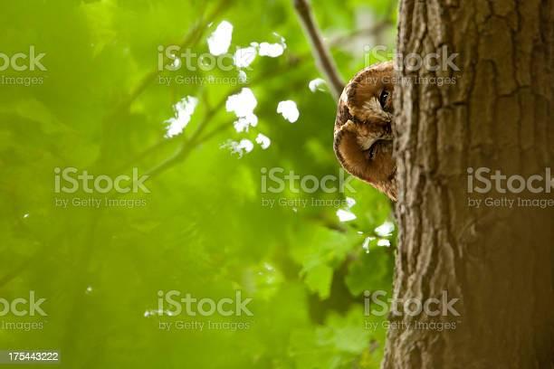 Tawny owl picture id175443222?b=1&k=6&m=175443222&s=612x612&h=6 i03rrimec58kjq5qgzvexeuhnfc0tqzksh5jn4qto=