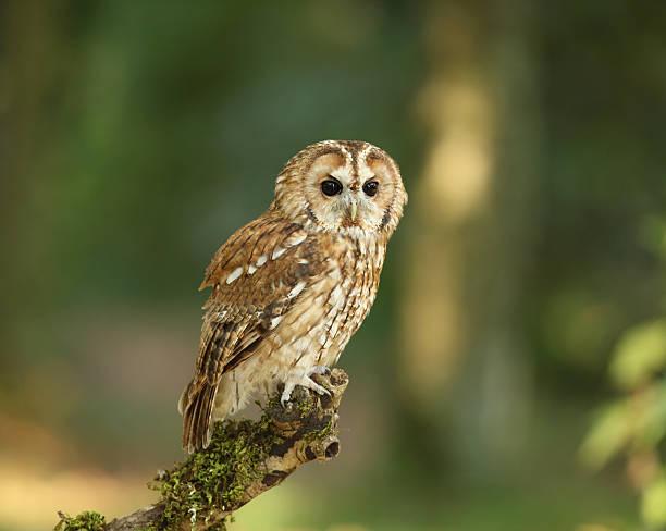 Tawny owl picture id176859745?b=1&k=6&m=176859745&s=612x612&w=0&h=krub8z2qxedsax0lk2f3pnqi nlvhtvlnmjwg2ivtio=