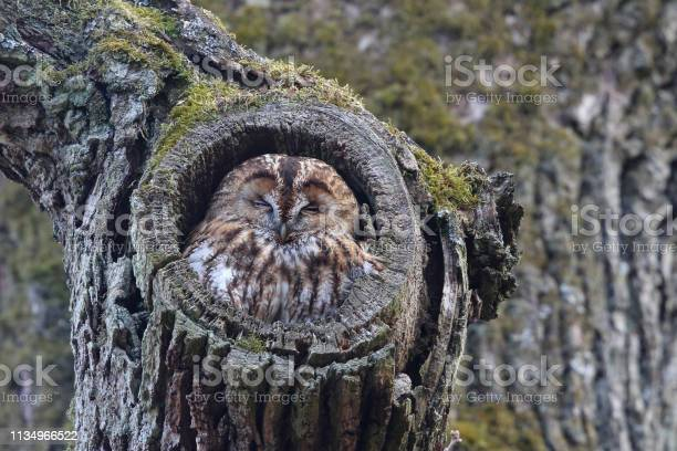 Tawny owl sleeping in an oak picture id1134966522?b=1&k=6&m=1134966522&s=612x612&h=bzm6sqzgvd8scfcusb5qpl6guoaawlbethcdbgahb 0=