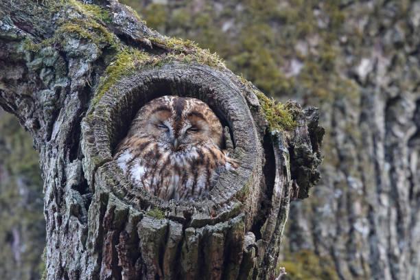 Tawny owl sleeping in an oak picture id1134966522?b=1&k=6&m=1134966522&s=612x612&w=0&h=mqxjie4guzsteraiz5bzs jo xoly7h6cqwdrv0to9a=