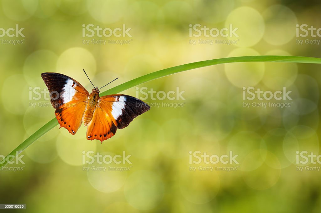 Tawny Rajah butterfly resting on twig stock photo