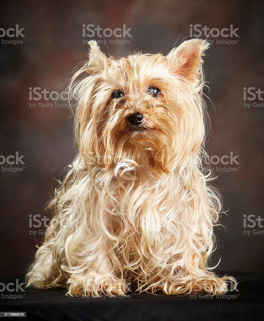 Leonado Terrier de Yorkshire (en perros) posando (Foto de estudio - foto de stock