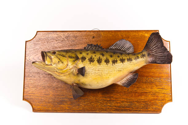 taxidermied fish plaque isolated on white - halbergman stock pictures, royalty-free photos & images