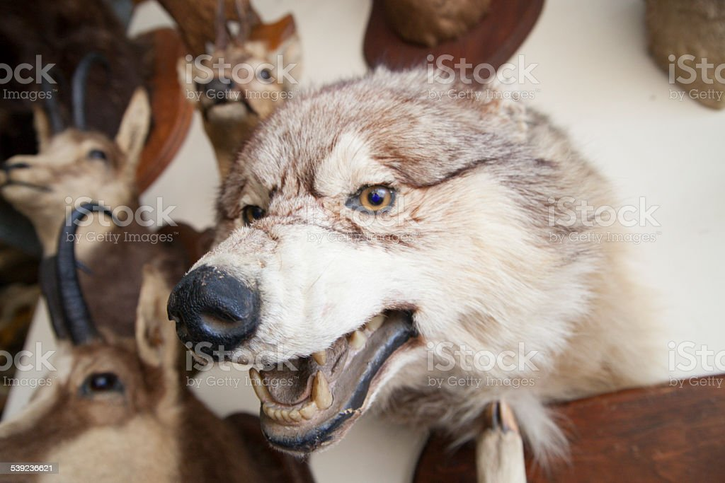 Taxidermied wolf head snarling royalty-free stock photo
