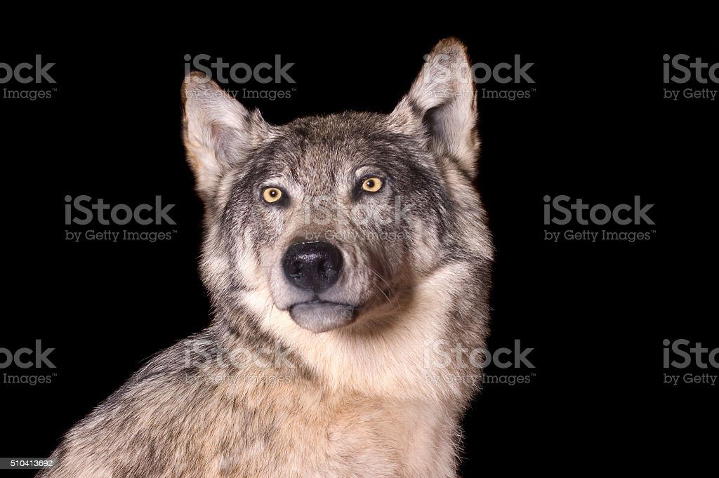 Taxidermy mount of coyote stock photo