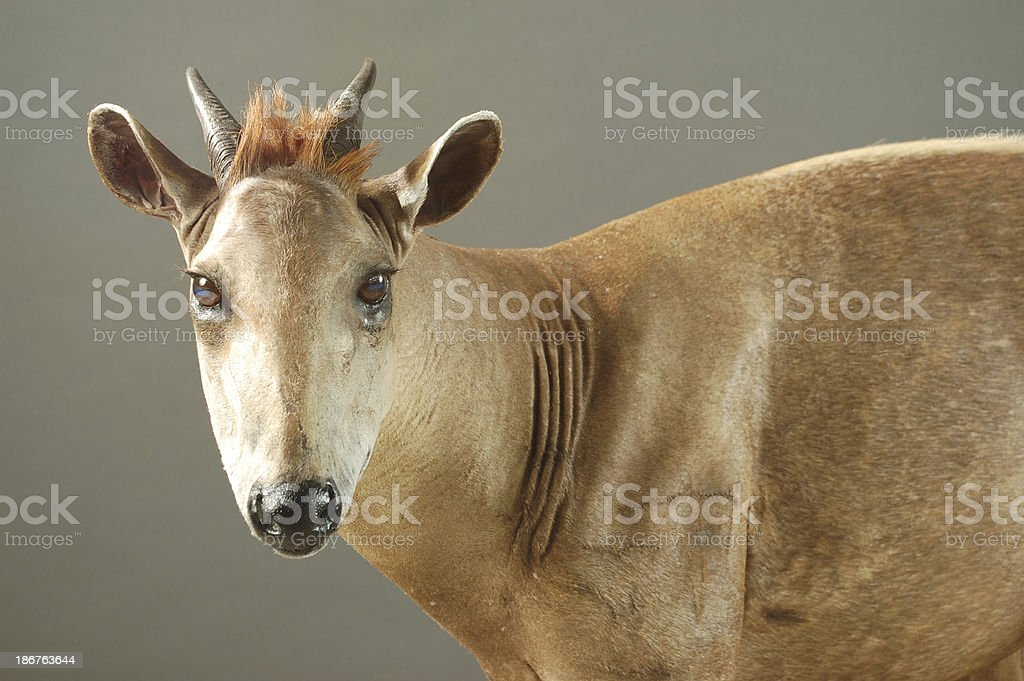 Taxidermy Mount, Yellow-Back Duiker stock photo