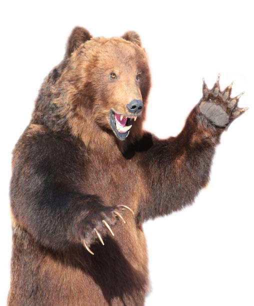 Taxidermy of a Kamchatka brown bear stock photo