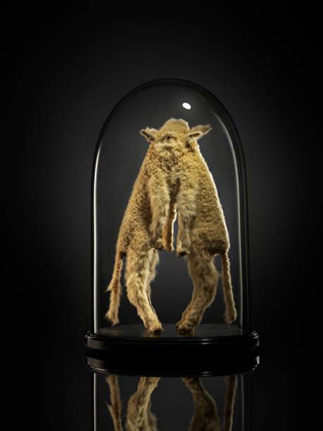 taxidermy siamese lambs in glass cabinet - katzenschrank stock-fotos und bilder