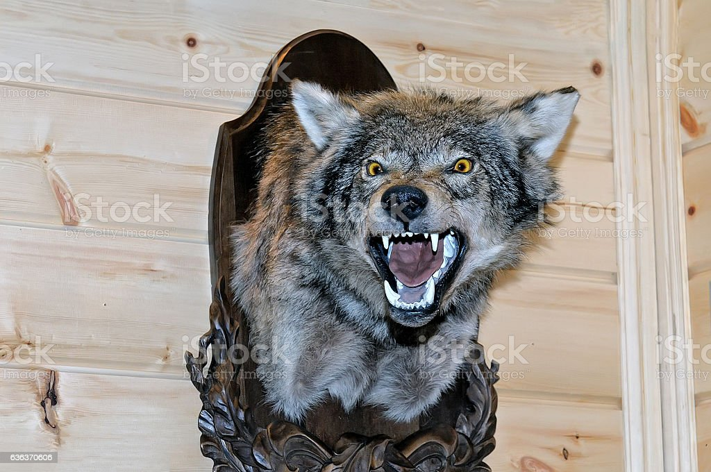 Taxidermy stuffed wolf's muzzle with bared mouth stock photo