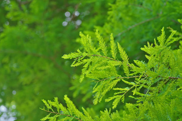 moerascipres - bald cypress tree stockfoto's en -beelden