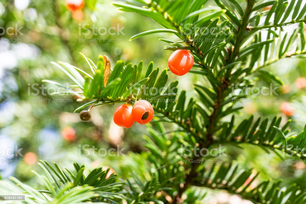 taxus baccata european yew stock photo more pictures of autumn
