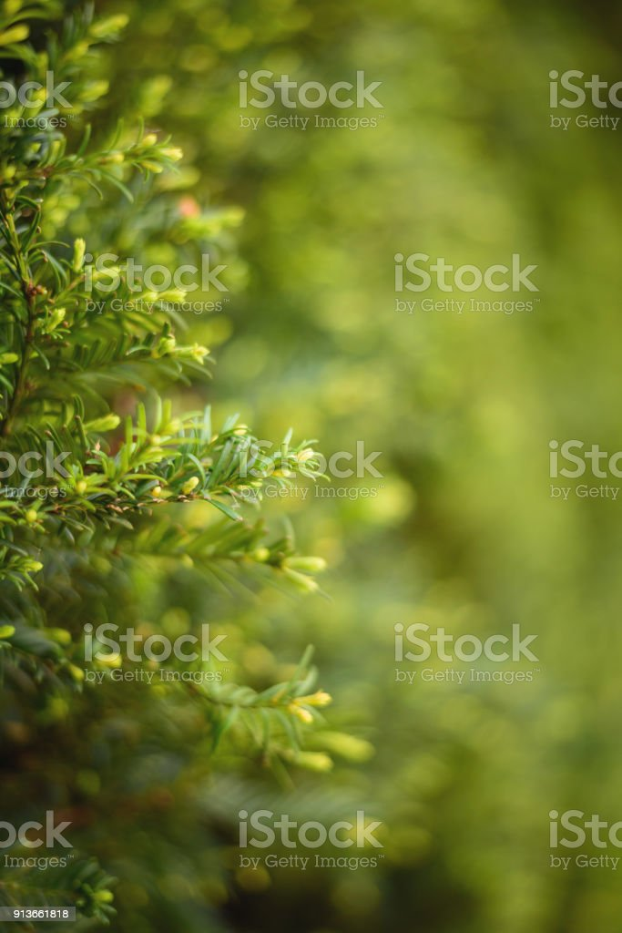 Taxus baccata stock photo