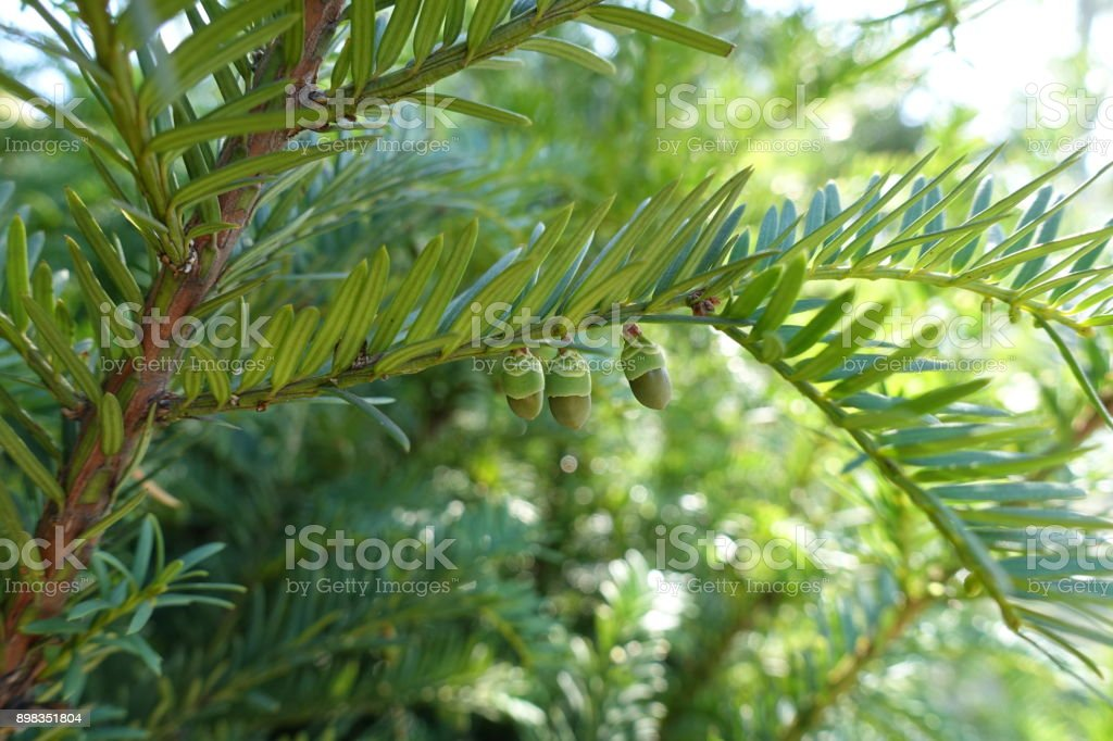 Taxus baccata (European yew) shoot with immature cones stock photo
